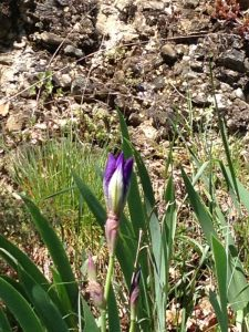 iris aude southern france