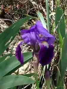 iris flower aude france