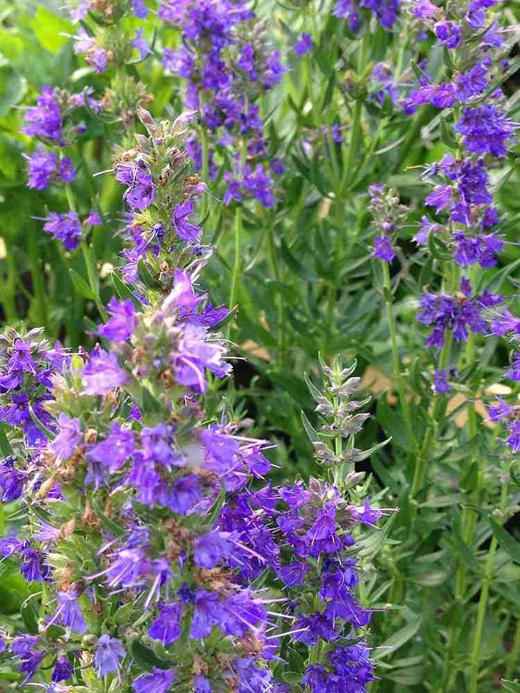 Thyme Breaks - hyssop in flower