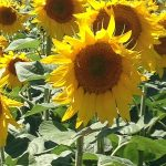 Helianthus tournesol aude france