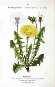 Taraxacum officinale dandelion leaves and flower