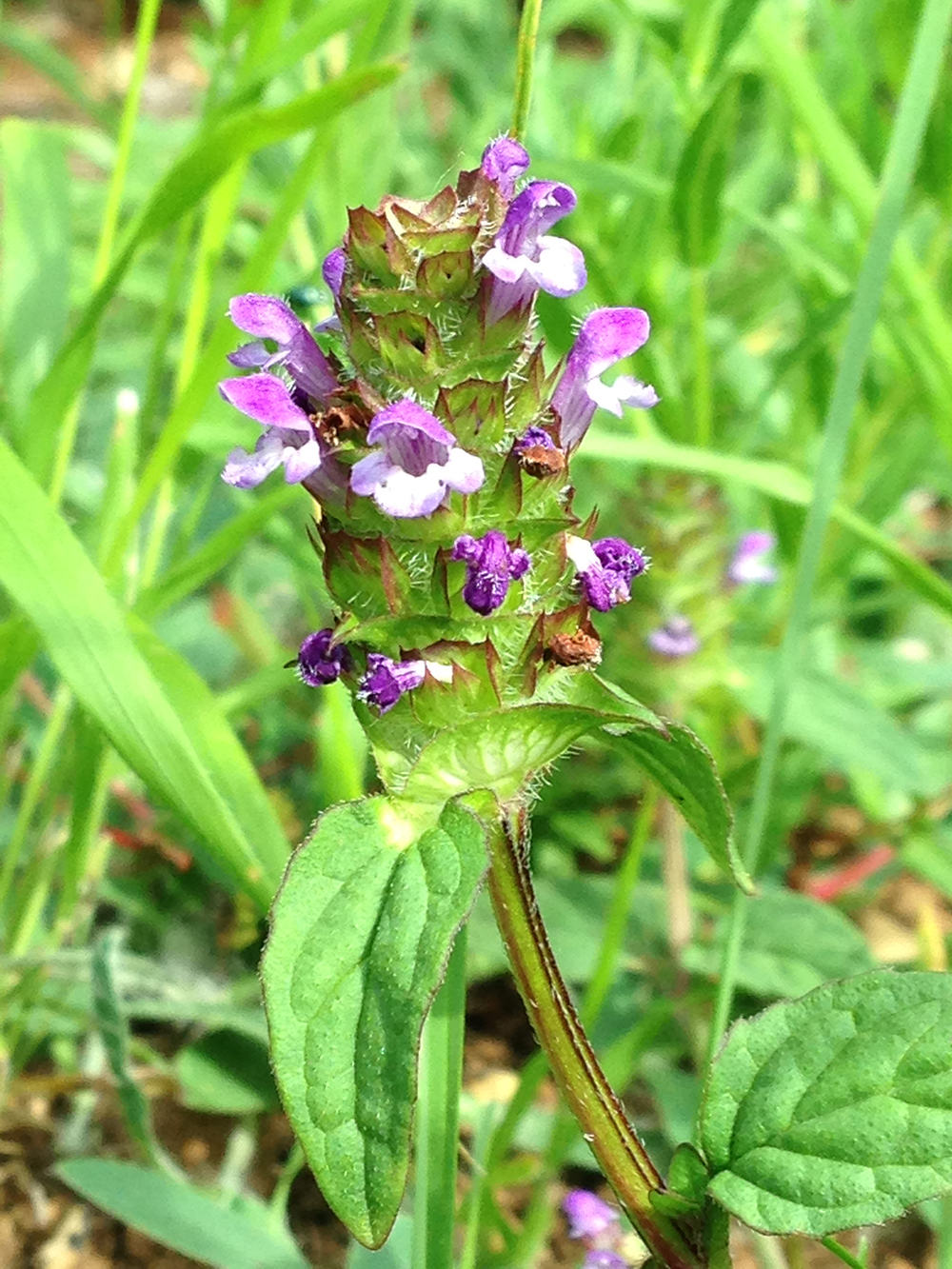 Self-Heal or All-Heal, a little plant with appropriate name